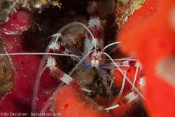 BD-101213-Playa-del-Carmen-3135-Stenopus-hispidus-(Olivier.-1811)-[Banded-coral-shrimp].jpg